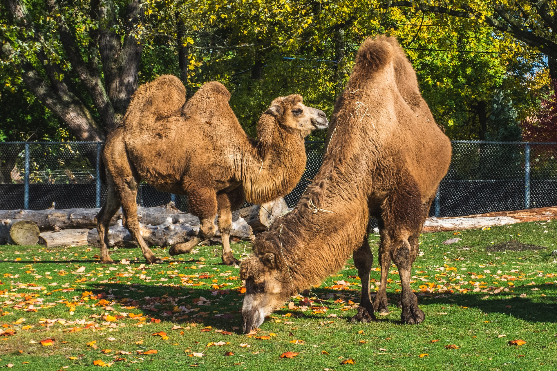 Camels at the Detroit Zoo