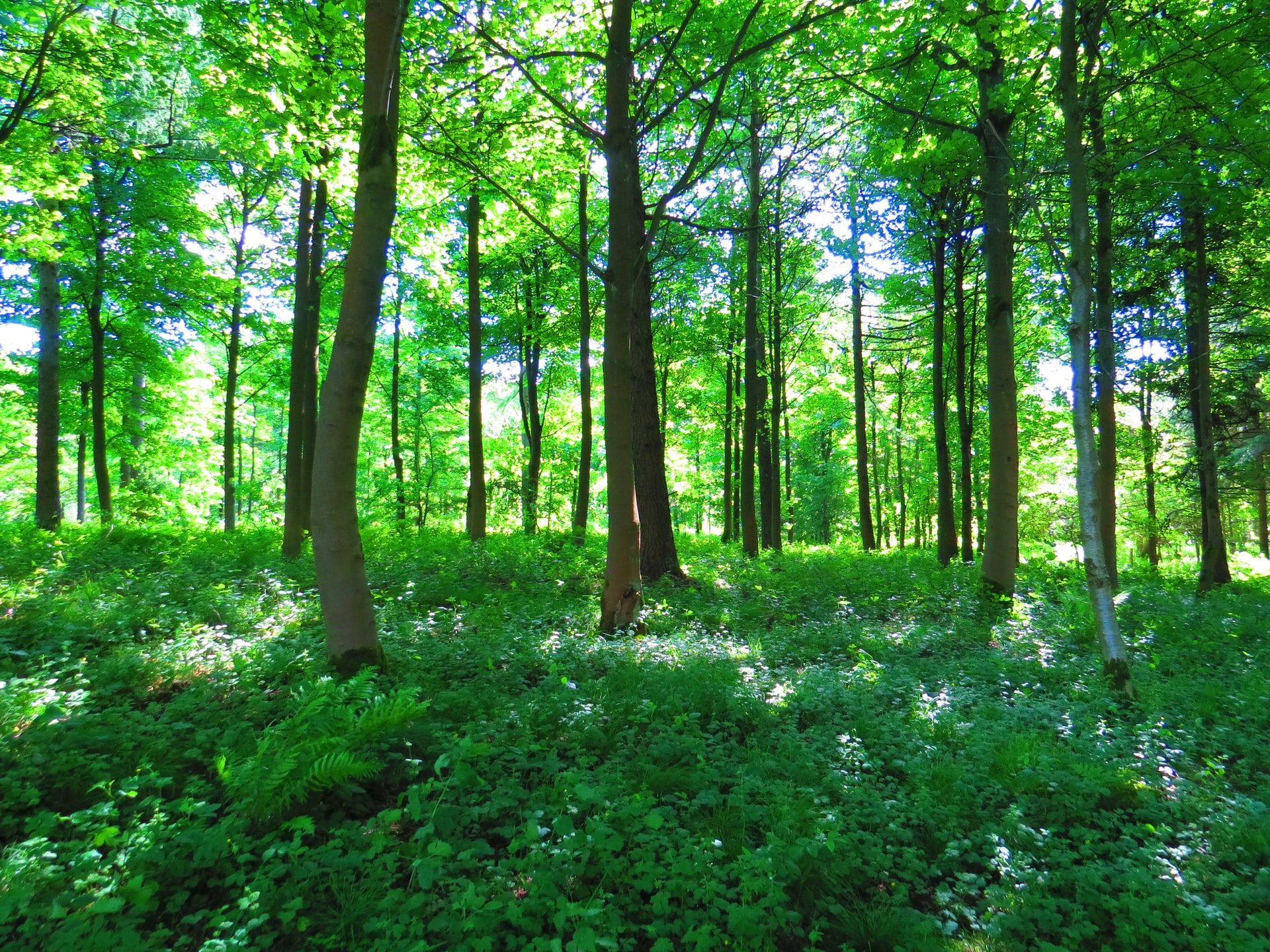 Green woods with sun filtering through tall trees